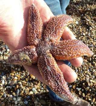 Starfish front by bitsnbobs