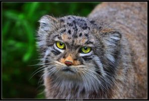 Pallas Cat by Dr-Koesters