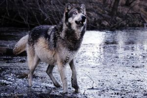 wolf acting surprised by Yair-Leibovich