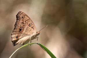 Junonia almana III by fire