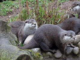 The otter gang ( 2 ) by UdoChristmann