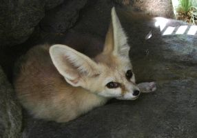 Fennec Fox by h3llzcupcake