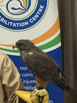 The Cottage Show - Swainson's hawk by Drake-Starfire