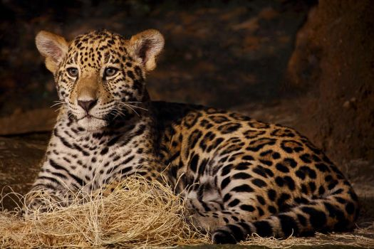 Young Jaguar by papatheo
