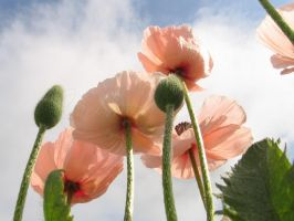 Pink Poppies-2 by DWALKER1047