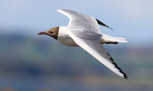 Black-headed gull by NurturingNaturesGift