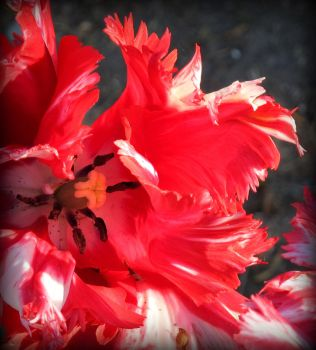 red tulip by silycat3