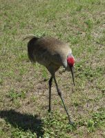 Florida Sandhill Cranes 03 by ce3Design