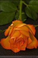 A Single Rose 0528o by Haywood-Photography