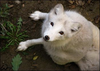 Arctic fox: ,,It was fun... by woxys