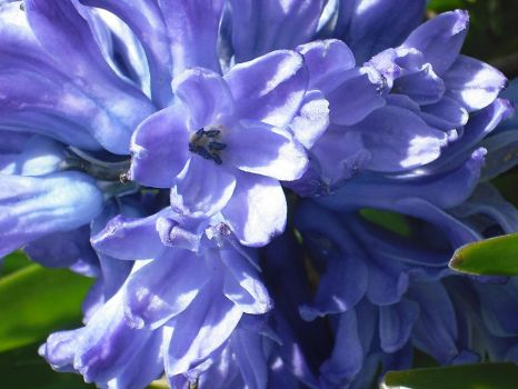 Blue Hyacinth by LadyLiena