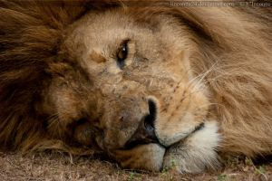 Zaran Commish - Lion sleeps by LInconnu24