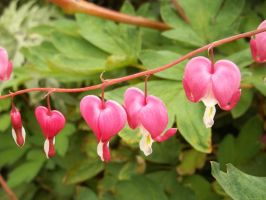Bleeding Hearts by Springfeather