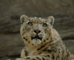 Snow Leopard 3 by shaunthorpe