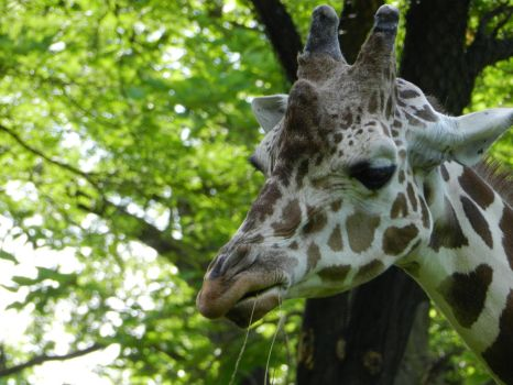 Angry Giraffe by OsarionStudios