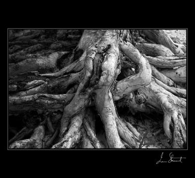 Tree Root, Fraser Island by eehan