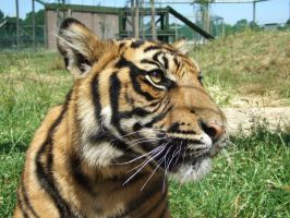 .Tiger face. 7757 by DelinquentDog