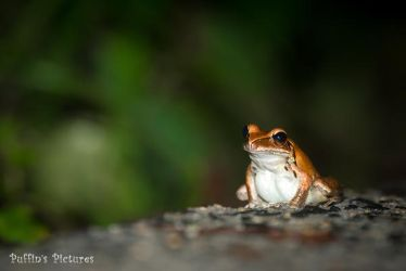 Lonely Rocket Frog by tuftedpuffin