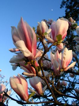 Magnolia 001 by mrhollow