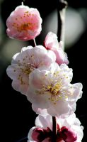 Plum blossom in tokyo by kitsune89