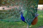 Peacock 1 by KWilliamsPhoto