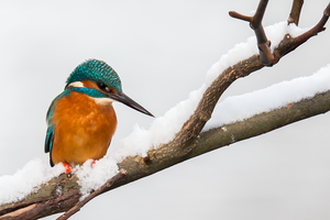 Common Kingfisher (Alcedo atthis) by Spotting-Nature
