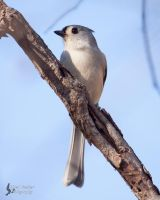 Tufted Titmouse by EdgedFeather