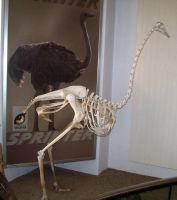 Ostrich Skeleton by fuguestock