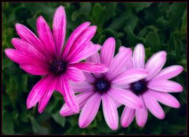 AFRICAN DAISIES 61 by THOM-B-FOTO