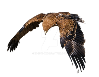 Eagle in flight on a transparent background by ZOOSTOCK