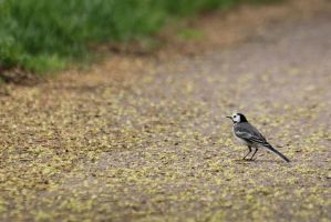 White Wagtail and Gold Leaves by DavaDs