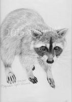 Raccoon (in celebration of 100 fans on facebook!) by Sillageuse