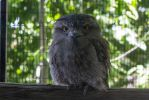 Tawny Frogmouth 3 by CastleGraphics