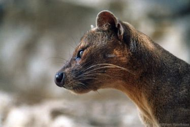 The Fossa in Profile by robbobert