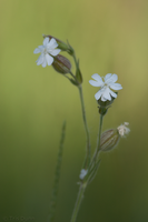 White Campion by Pinedrop