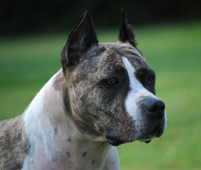THIS is a Pit Bull Terrier by tribandejoyce
