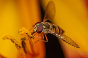 Marmalade Hoverfly (Episyrphus balteatus) by Azph