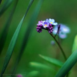 forget.me.not by impatienss