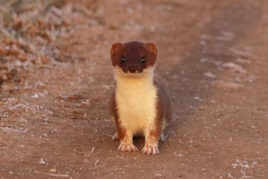 Stoat 21-3-18 by pell21