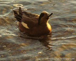 Wigeon...Sunny Side Up by eaglesdarephoto