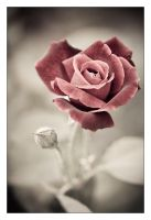 Red Rose by RaVeN8472