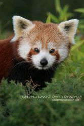 Red Panda by guitarjohnny
