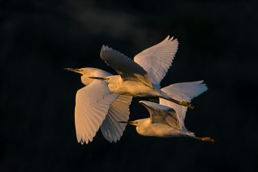 Snowy Egrets by AirshowDave