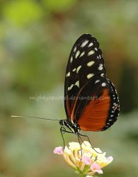Butterfly 1 by MightySquirrel