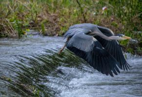 Heron in Flight! by Mincingyoda