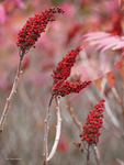 Sumac berries by Mogrianne