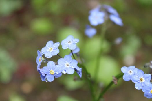 Forget Me Not by Reeves3