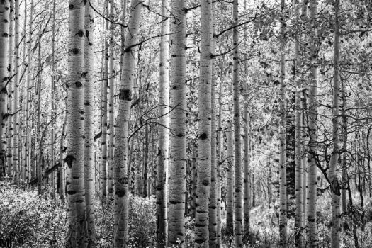 Clump of Aspens BW by mjohanson