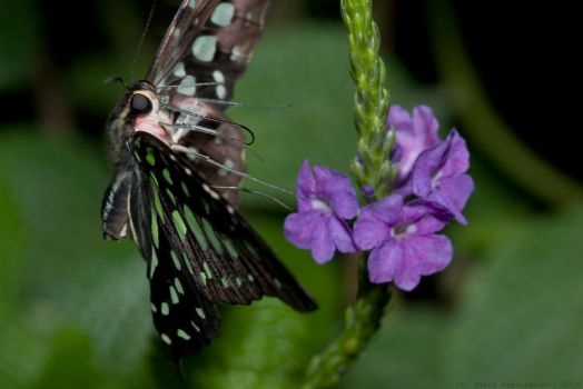 Tailed Jay Take-off by hepiladron