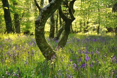 Bluebells 2010 by avalonmoon13